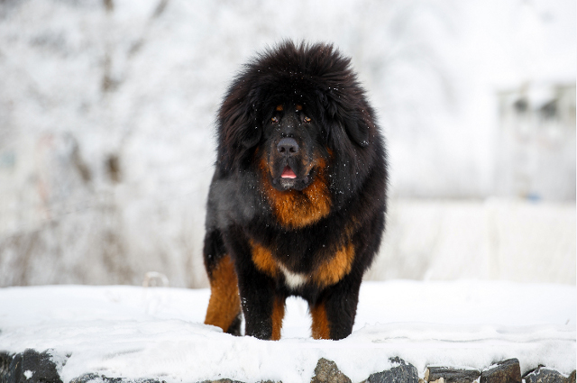 Photo of Tibetan Mastiff (History,Appearance,Color,Intelligence,Weight,Height,Health Problems,Train capacity,Guard Dog)