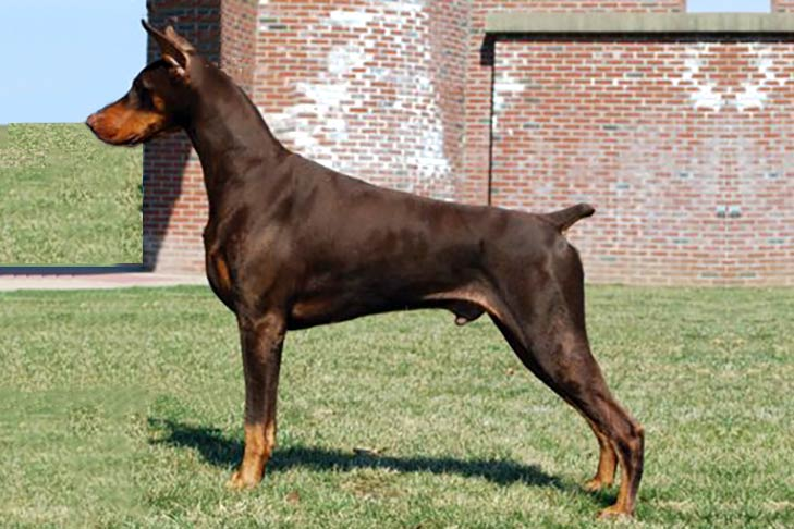 Photo of Doberman Pinicsher (History,Appearance,Color,Intelligence,Weight,Height,Health Problems,Train capacity,Guard Dog)
