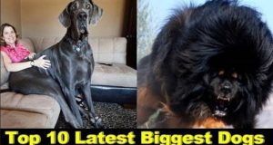Top 10 Latest Biggest Dogs In The WorldTop 10 Latest Biggest Dogs In The World