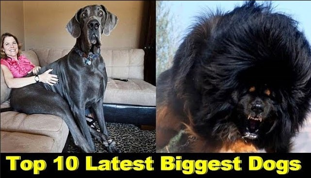 Photo of Top 10 Latest Biggest Dogs In The World