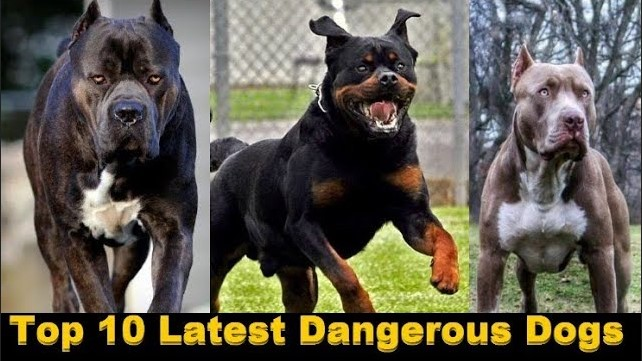 Photo of Top 10 latest Dangerous Dogs In The World