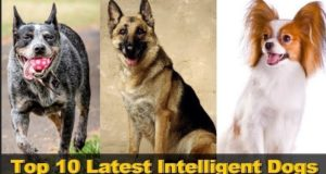 Top 10 Latest Intelligent Dogs In The World