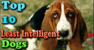 Top 10 latest least intelligent dogs In The World