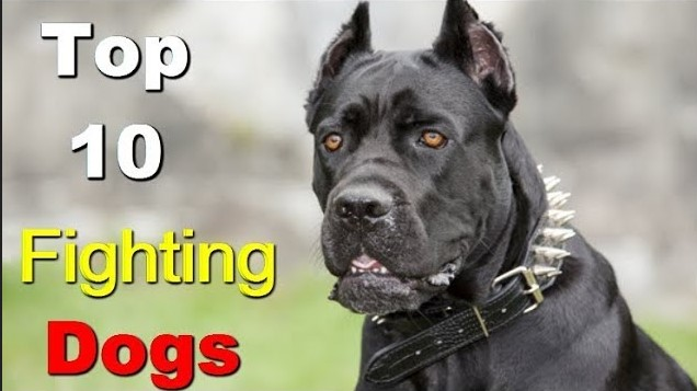 Photo of Top 5 Latest Ultimate Fighting Dogs In The World