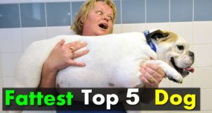 Top 5 Latest Fattest Dogs In The World