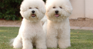 Top 10 Latest Expensive Dog Breeds In The World