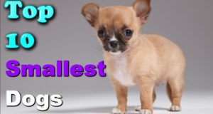 Top 10 Latest Smallest Dogs In The World