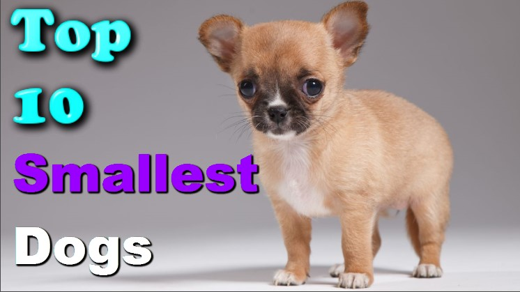 Photo of Top 10 Latest Smallest Dogs In The World